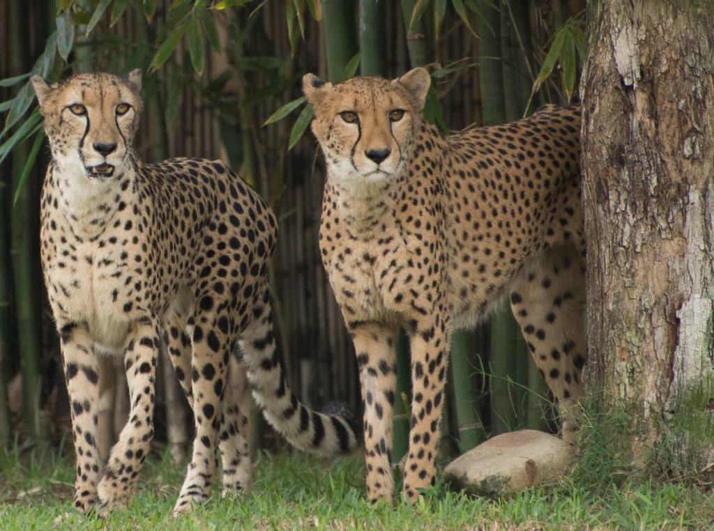 Twin Cheetahs (1 of 1)