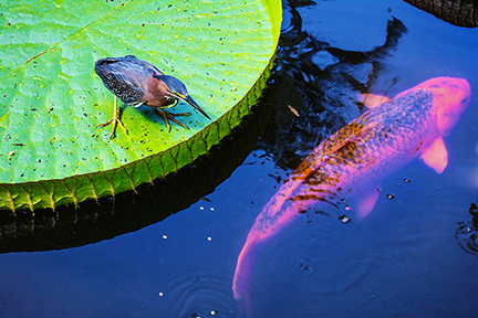 green-heron-meets-koi
